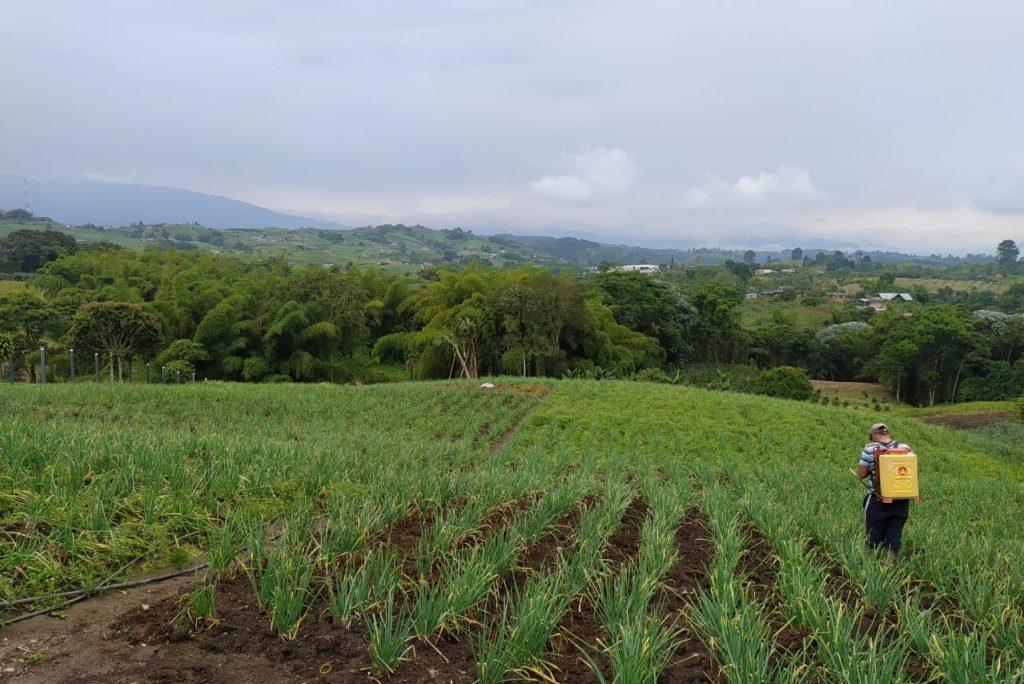 Cultivo de cebolla larga